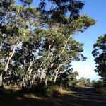 Koa trees / mmmavocado